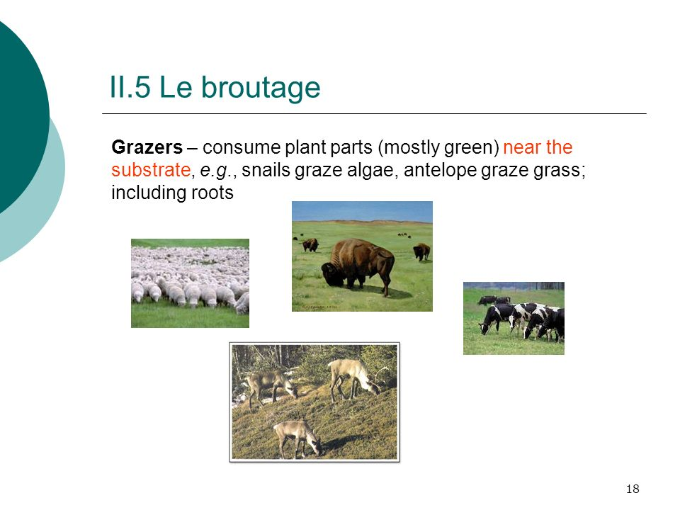 II.5 Le broutage Grazers – consume plant parts (mostly green) near the substrate, e.g., snails graze algae, antelope graze grass; including roots.