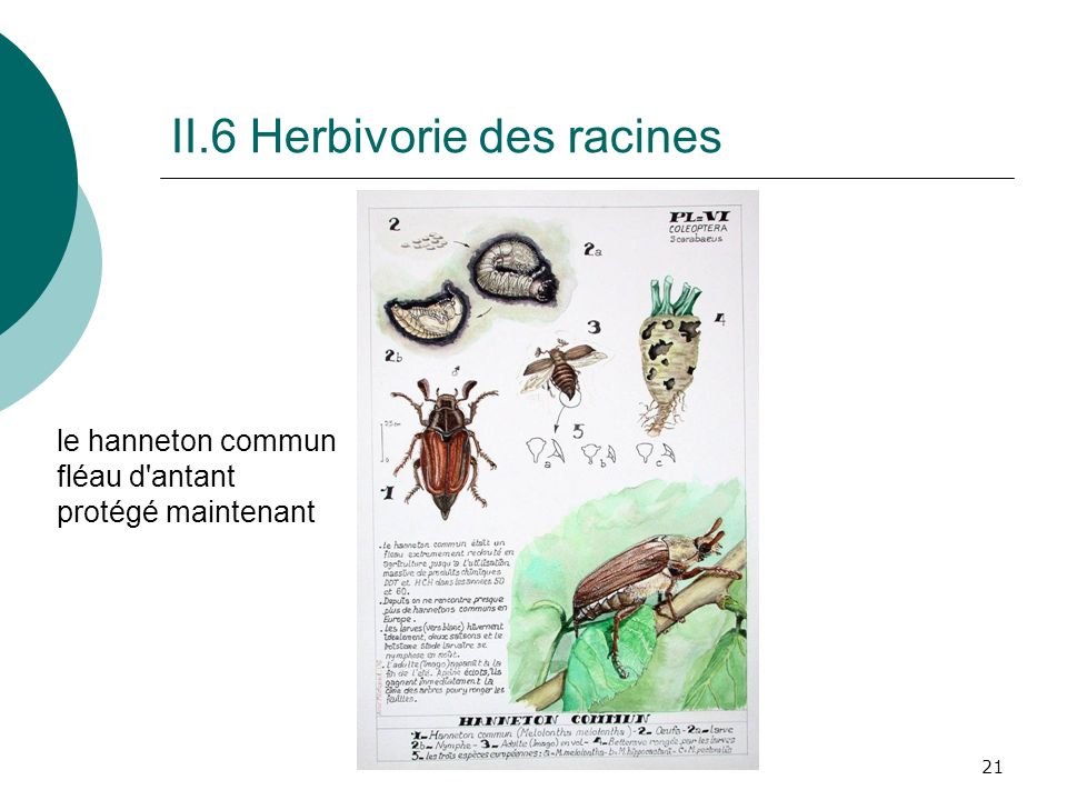 II.6 Herbivorie des racines