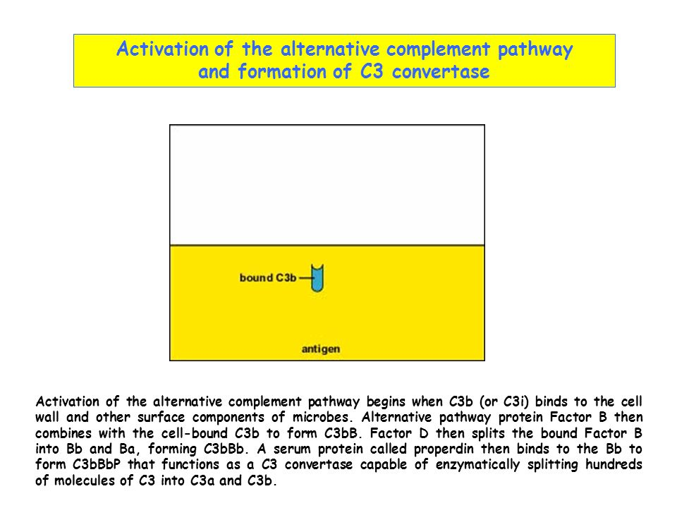 Activation of the alternative complement pathway and formation of C3 convertase