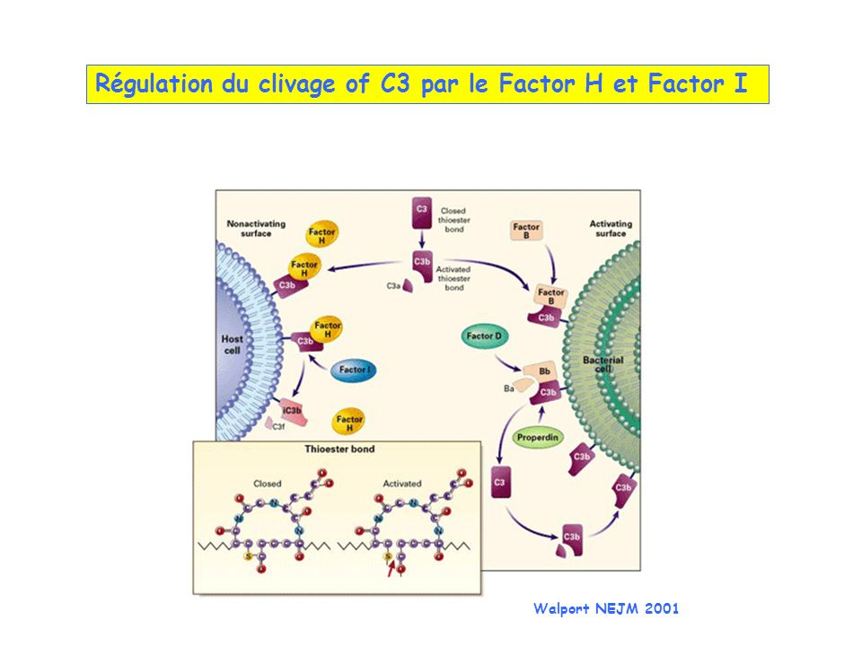Régulation du clivage of C3 par le Factor H et Factor I