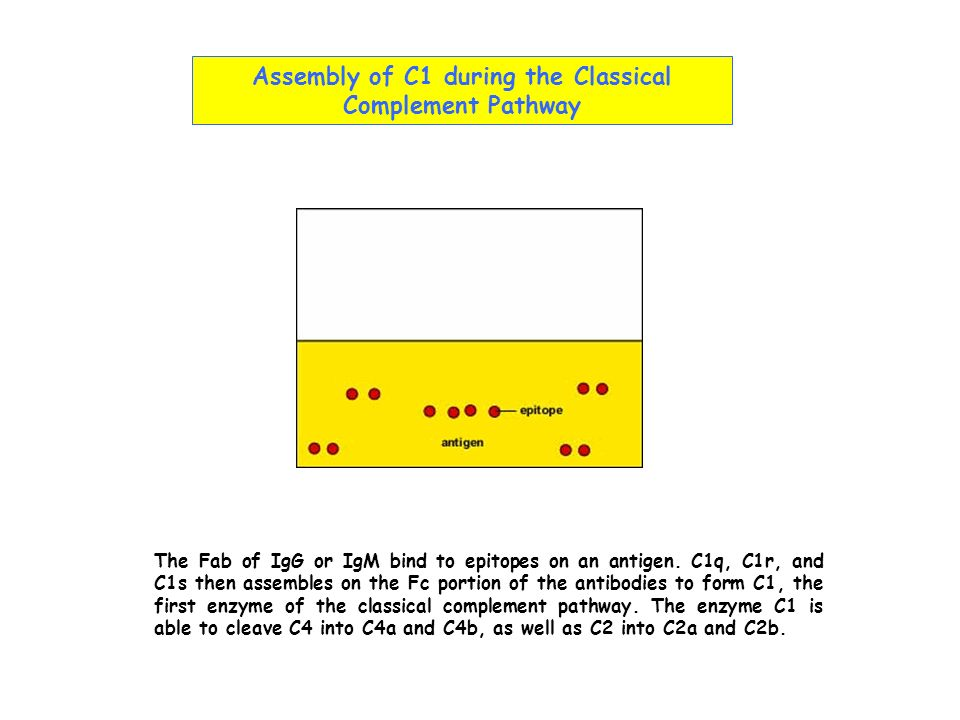 Assembly of C1 during the Classical Complement Pathway