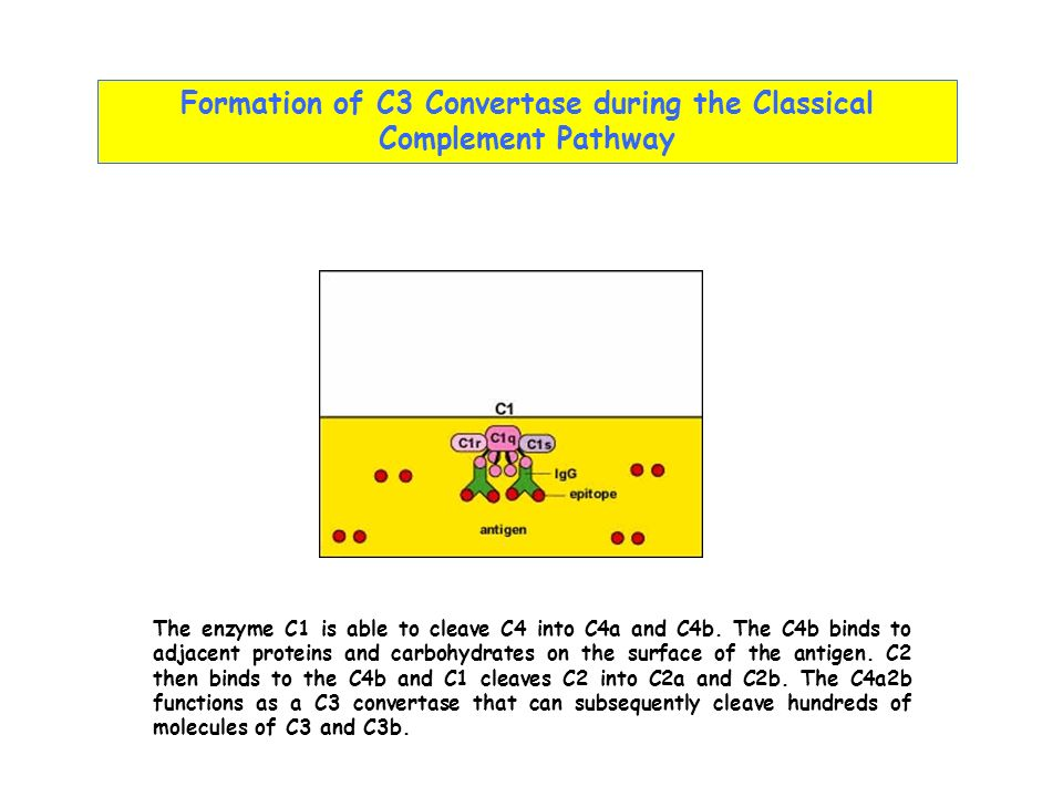 Formation of C3 Convertase during the Classical Complement Pathway