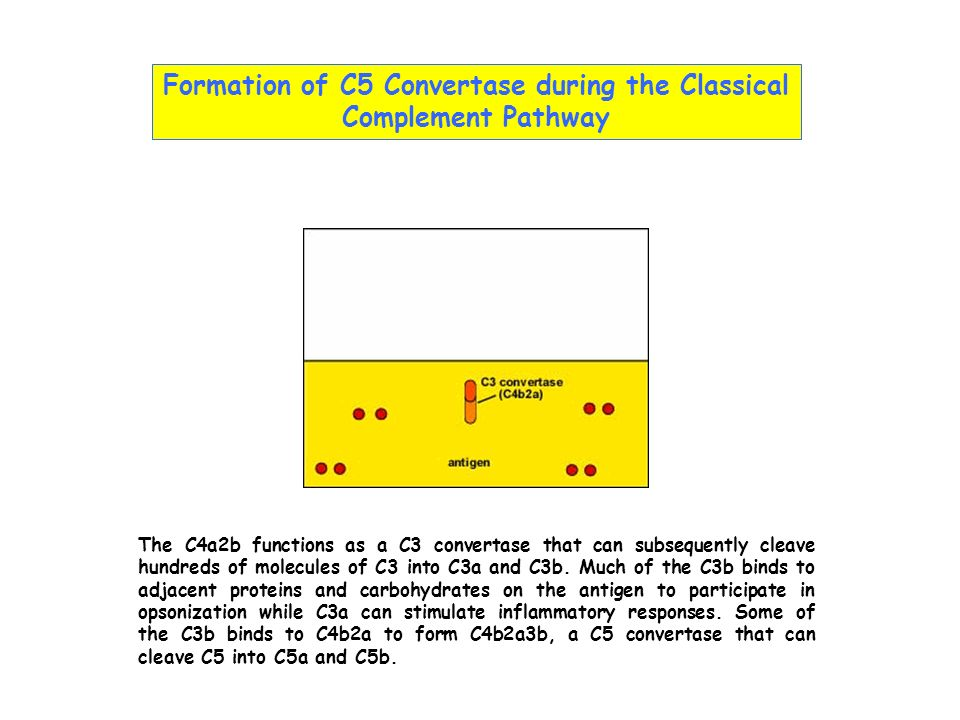 Formation of C5 Convertase during the Classical Complement Pathway