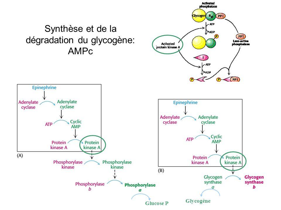 Synthèse et de la dégradation du glycogène: AMPc