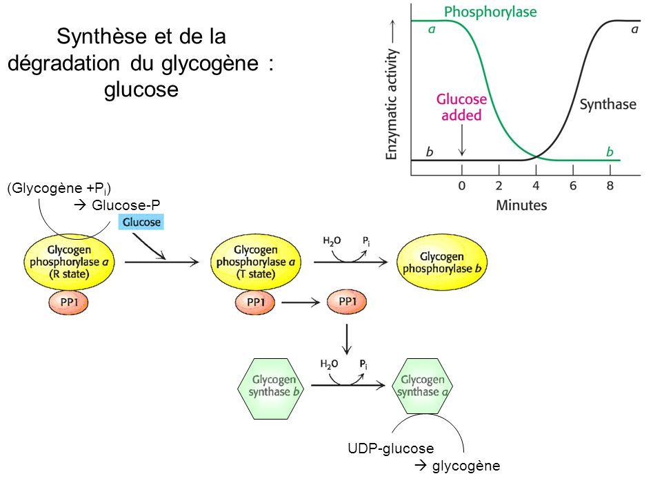 Synthèse et de la dégradation du glycogène : glucose