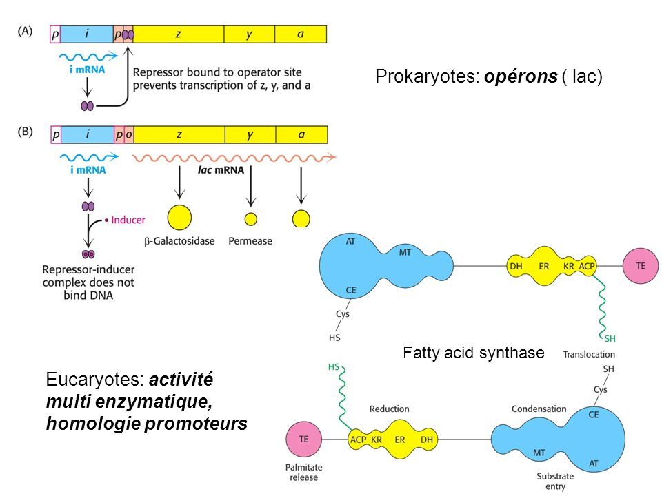 Prokaryotes: opérons ( lac)