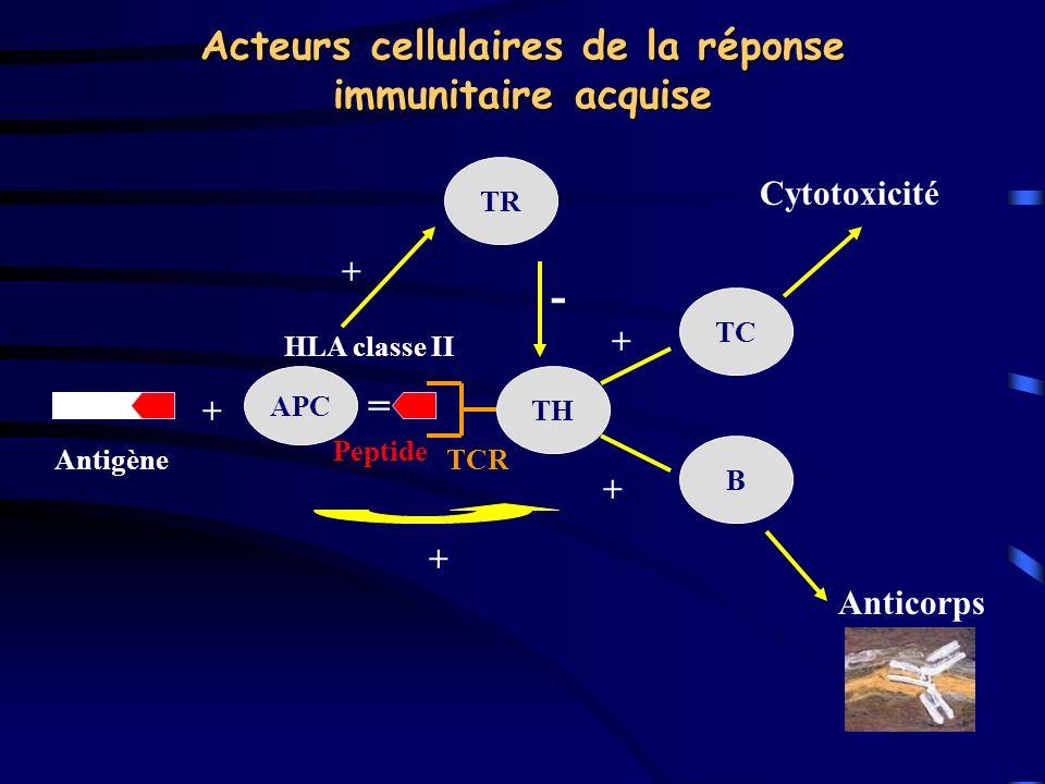 Acteurs cellulaires de la réponse immunitaire acquise