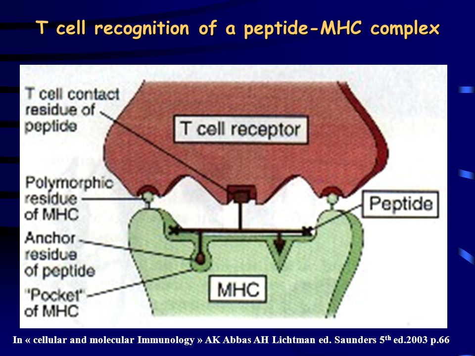 T cell recognition of a peptide-MHC complex