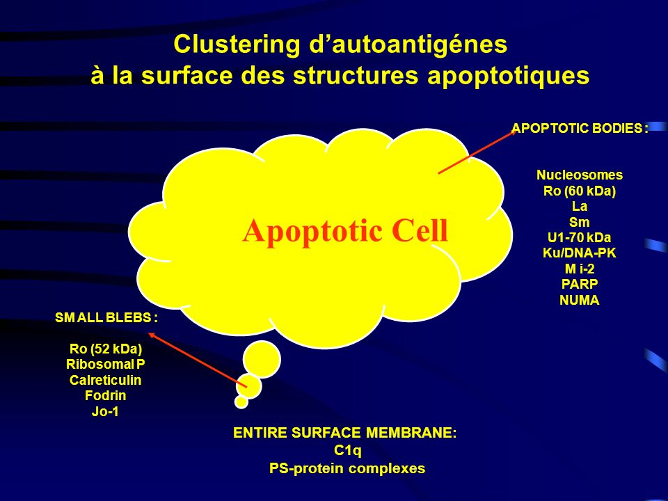 Apoptotic Cell Clustering d'autoantigénes