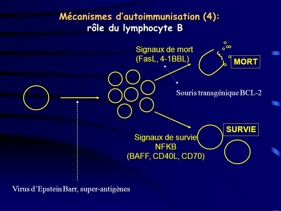 Mécanismes d'autoimmunisation (4): rôle du lymphocyte B