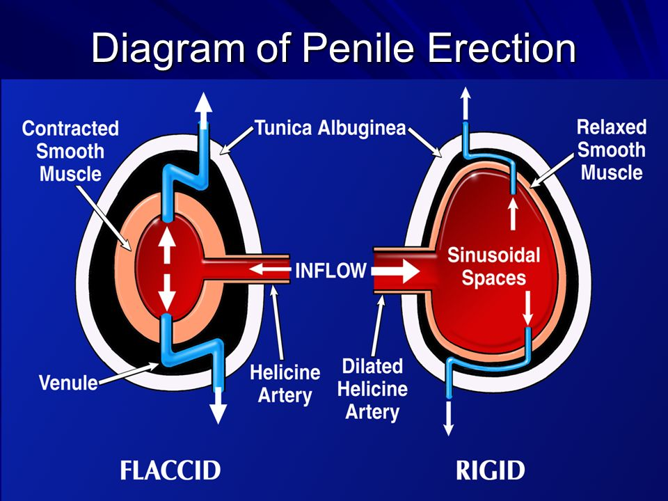 Diagram of Penile Erection