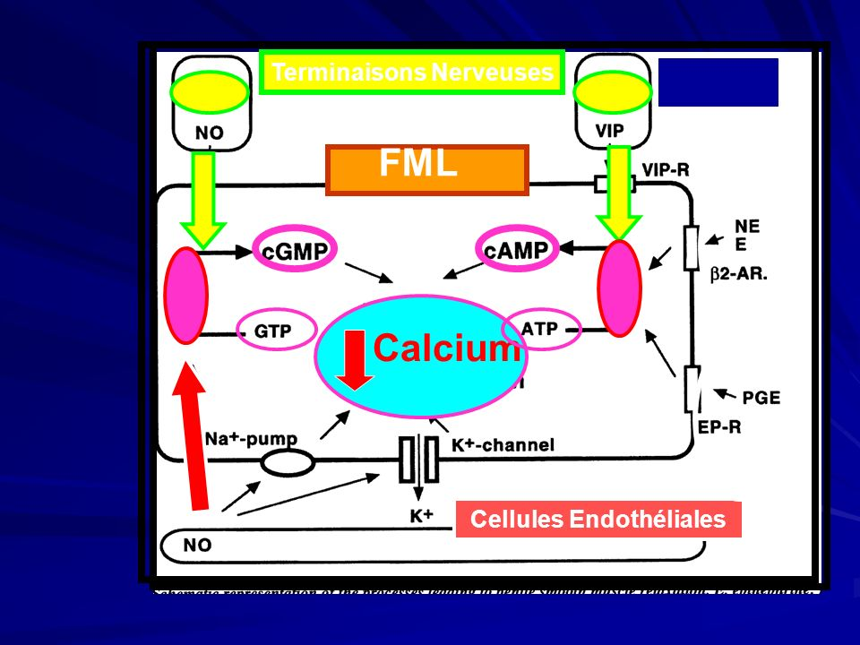 Terminaisons Nerveuses Cellules Endothéliales