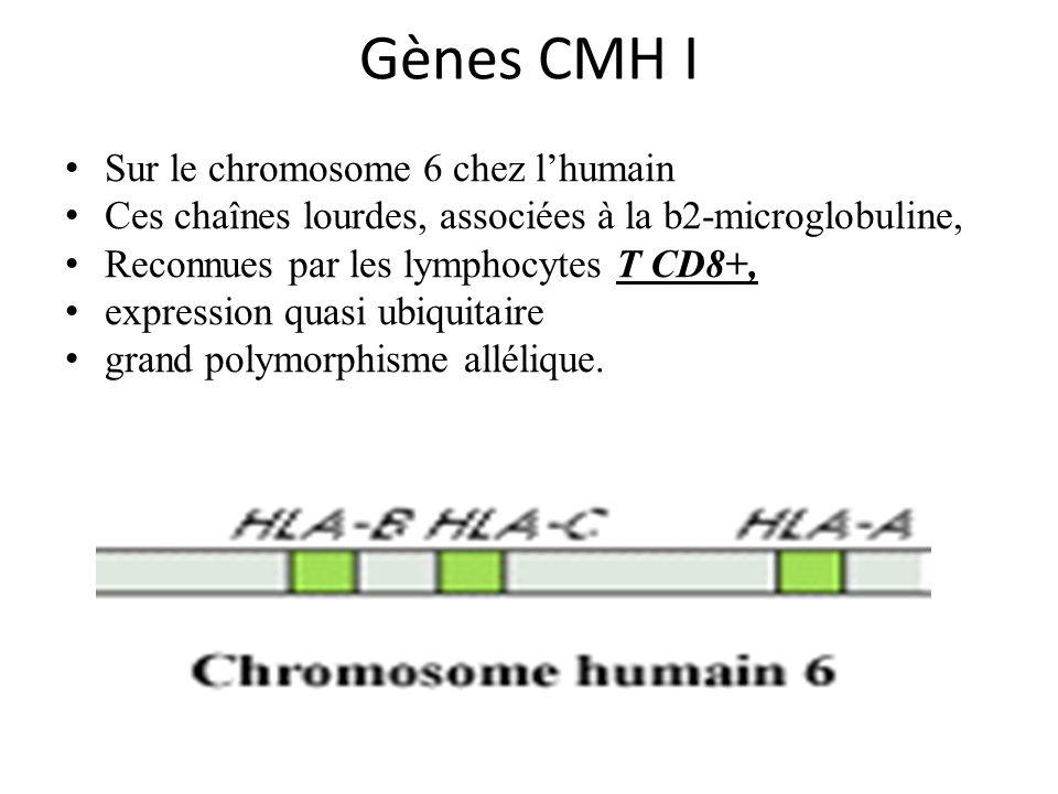 Gènes CMH I Sur le chromosome 6 chez l'humain