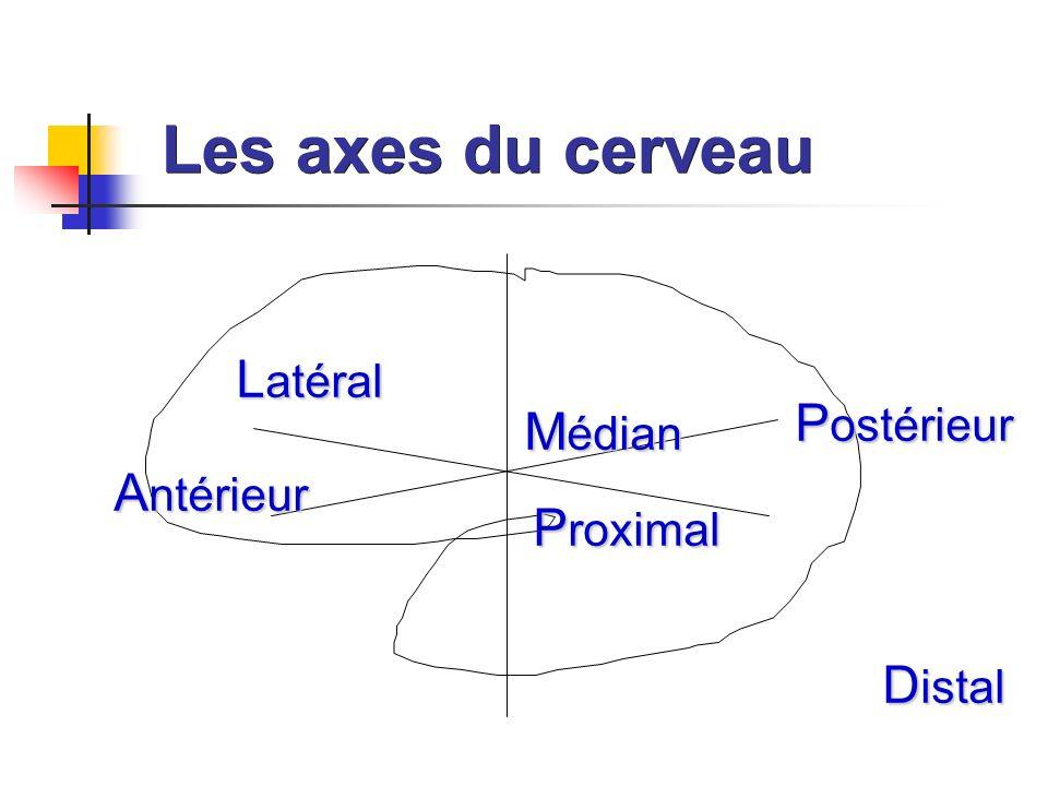 Les axes du cerveau Latéral Postérieur Médian Antérieur Proximal