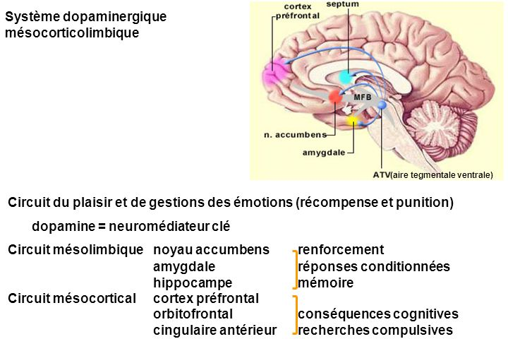 Système dopaminergique mésocorticolimbique