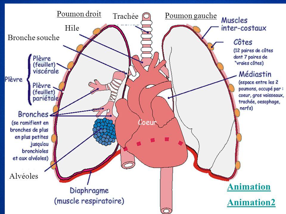 Animation Animation2 Poumon droit Trachée Poumon gauche Hile