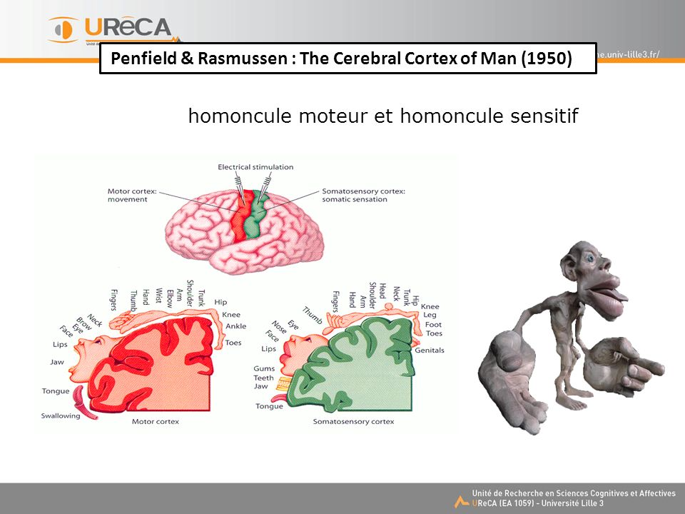 Penfield & Rasmussen : The Cerebral Cortex of Man (1950)
