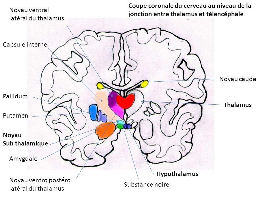 Coupe coronale du cerveau au niveau de la jonction entre thalamus et télencéphale