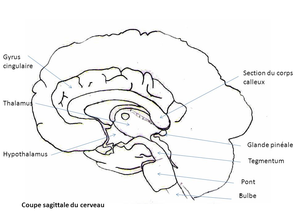 Gyrus cingulaire. Section du corps calleux. Thalamus. Glande pinéale. Hypothalamus. Tegmentum.
