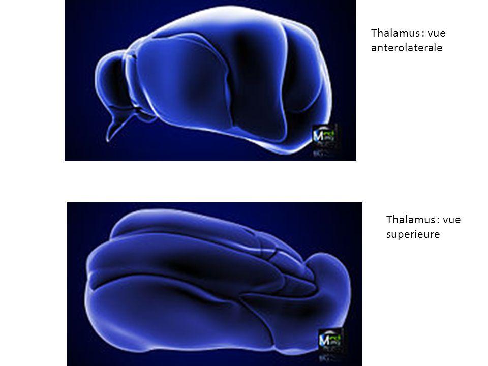 Thalamus : vue anterolaterale
