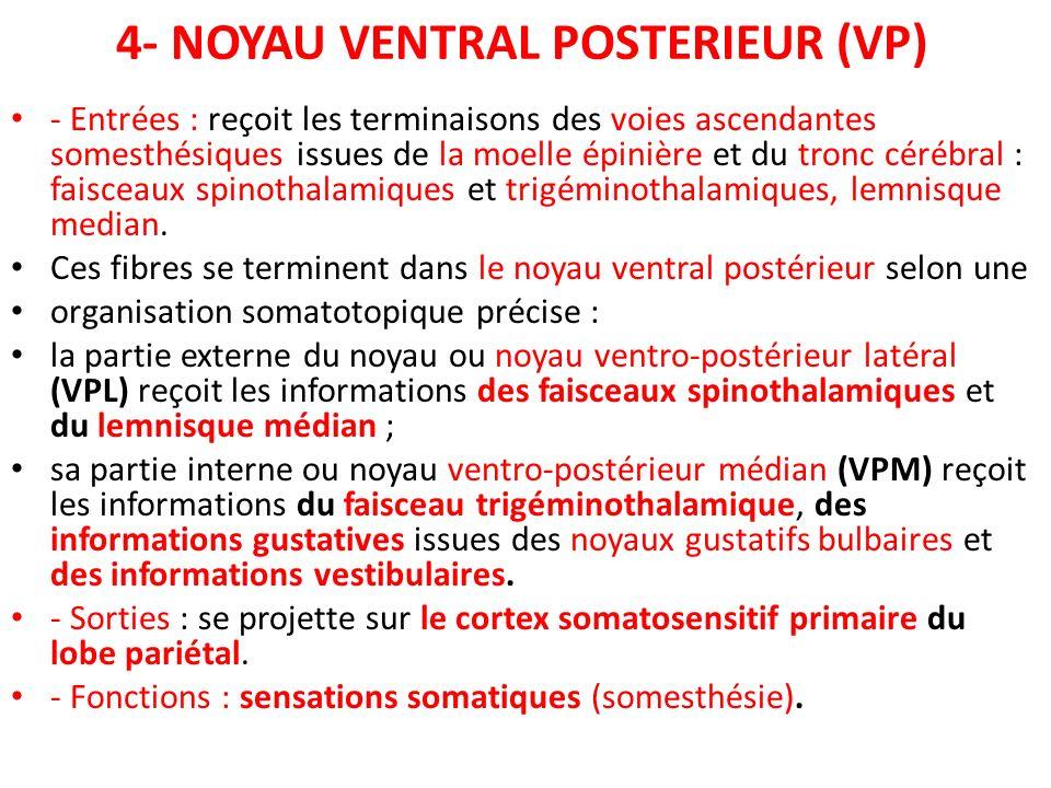 4- NOYAU VENTRAL POSTERIEUR (VP)