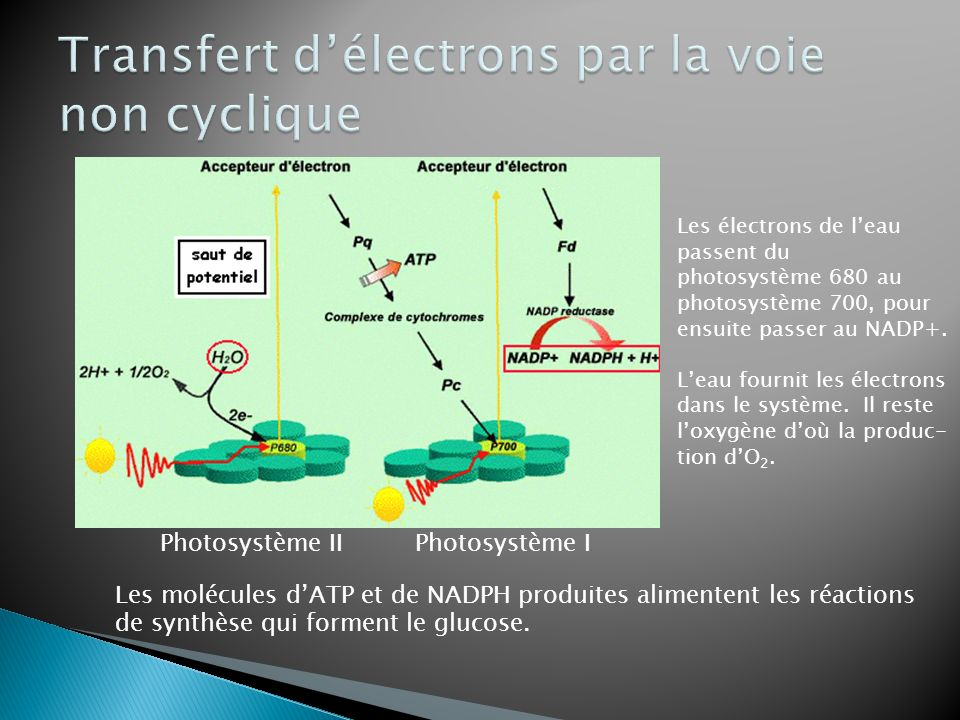 Transfert d'électrons par la voie non cyclique