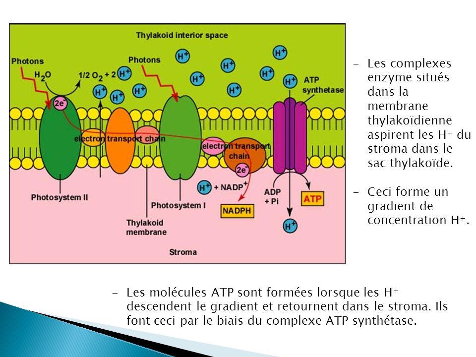 Les complexes enzyme situés dans la membrane thylakoïdienne aspirent les H+ du stroma dans le sac thylakoïde.