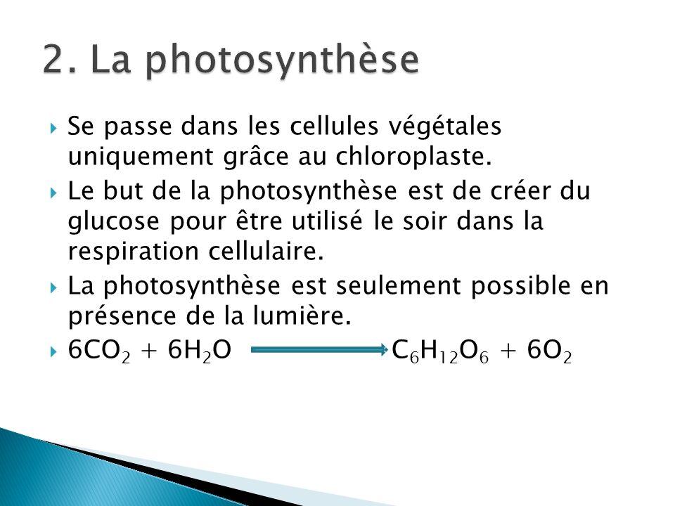 2. La photosynthèse Se passe dans les cellules végétales uniquement grâce au chloroplaste.