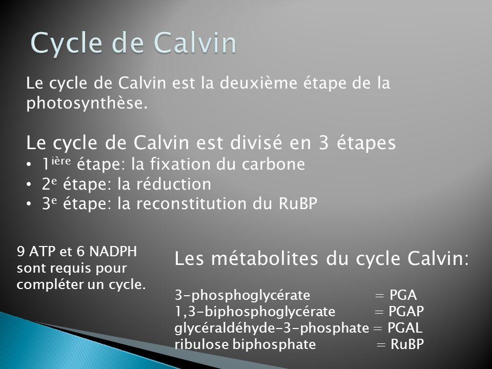Cycle de Calvin Le cycle de Calvin est divisé en 3 étapes