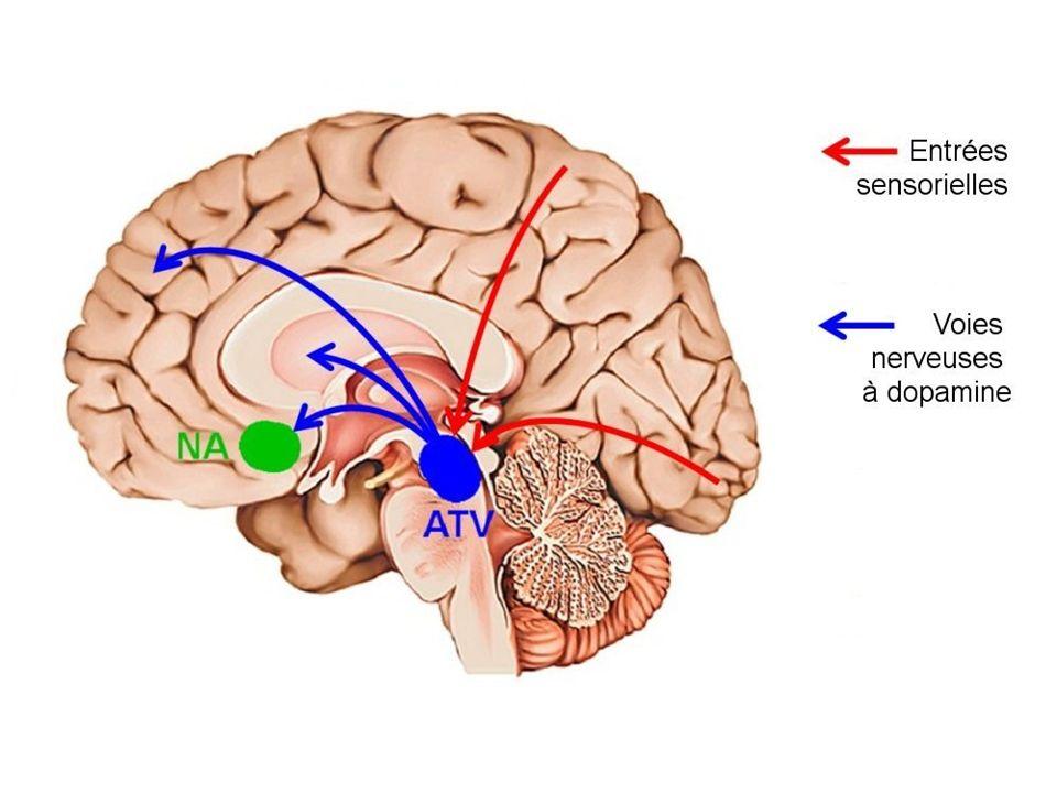 Le circuit de récompense met en jeu des régions interconnectées du cerveau (flèches bleues) qui interviennent chacune pour un aspect particulier de la réponse. Les deux principales sont : - l'aire tegmentale ventrale (ATV) qui reçoit des entrées sensorielles de plusieurs régions corticales (par exemple le cortex visuel (voir chapitre 2.1)), elle déclenche des réactions aux stimulus associés à l activité sexuelle, à la nourriture... ; - le noyau accumbens (NA) qui permet d évaluer la valeur hédonique d une action et la motivation pour effectuer cette action.