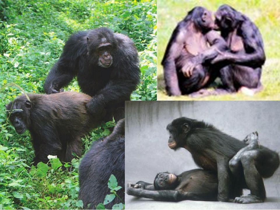 Un contrôle hormonal modéré chez le primates hominoïdes Le groupe des primates hominoïdes rassemble l Homme et les singes qui lui sont le plus proches, c est à dire les grands singes ou singes sans queue : chimpanzé, bonobo, gorille, orang-outan, gibbon