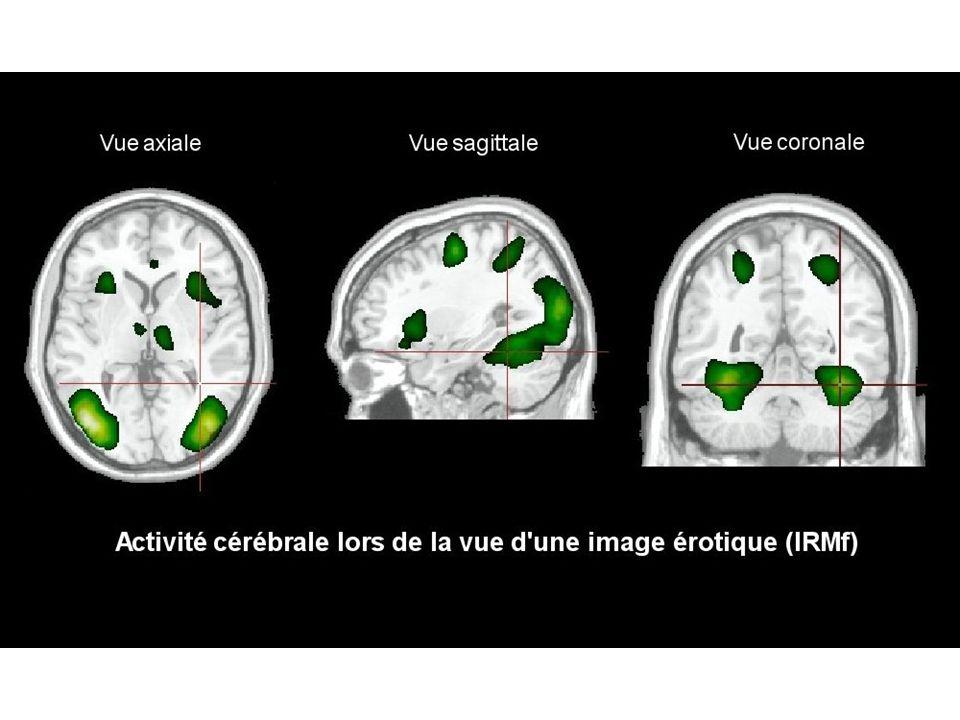 Activité cérébrale lors de la vue d une image érotique (IRMf) Le cerveau est le siège d une communication chimique intense en relation avec le comportement sexuel et qui met en jeu plusieurs aires cébrales interconnectées dans le circuit de récompense
