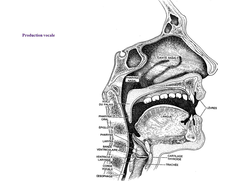 Production vocale Coupe montrant la position des cordes vocales et les résonateurs, Belin , « Pour la Science -- Sons et Musique »