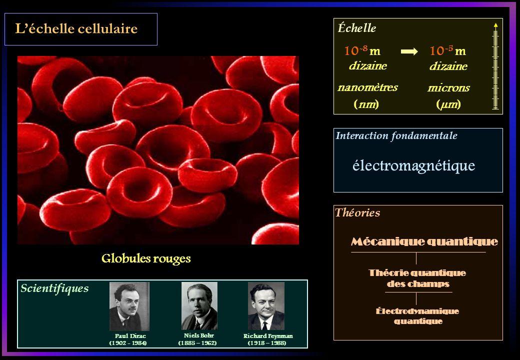 électromagnétique L'échelle cellulaire 10-8 m 10-5 m Globules rouges