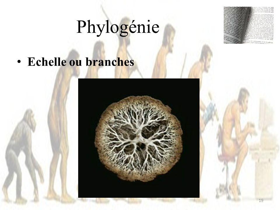 Phylogénie Echelle ou branches