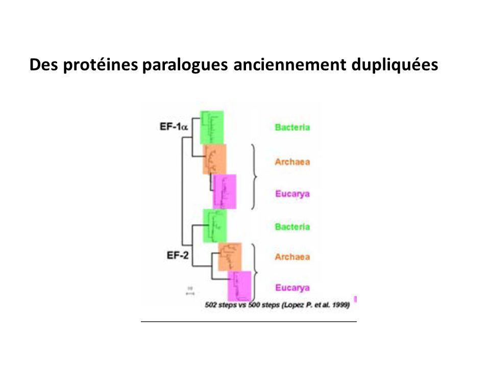 Des protéines paralogues anciennement dupliquées