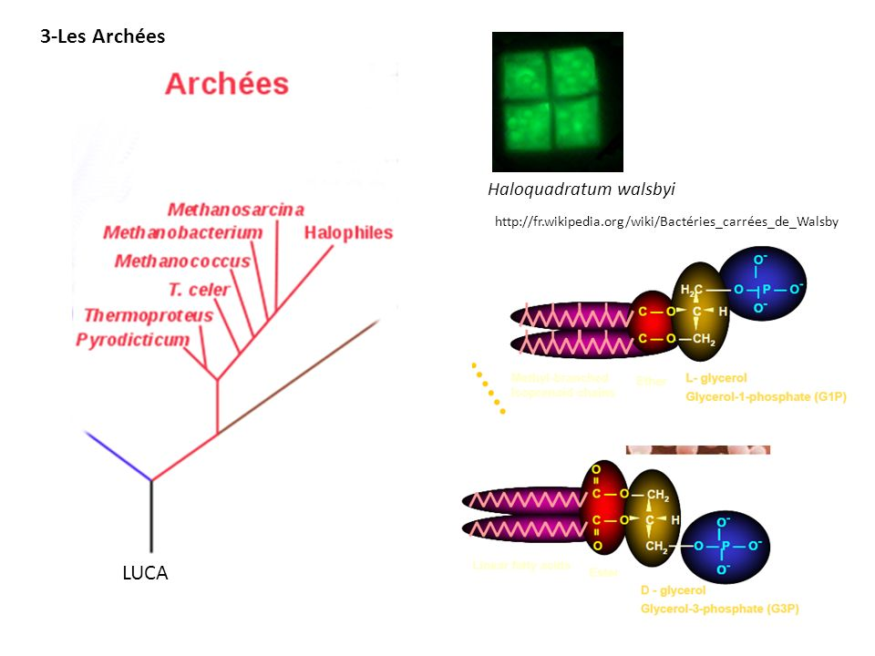 3-Les Archées LUCA Haloquadratum walsbyi