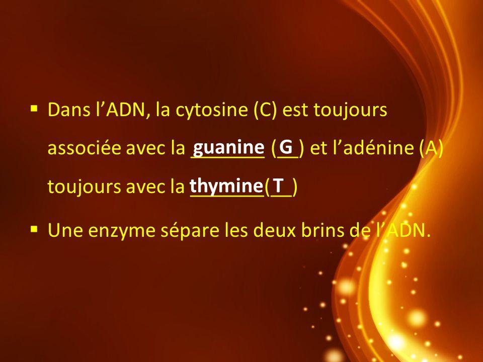 Dans l'ADN, la cytosine (C) est toujours associée avec la _______ (__) et l'adénine (A) toujours avec la _______(__)