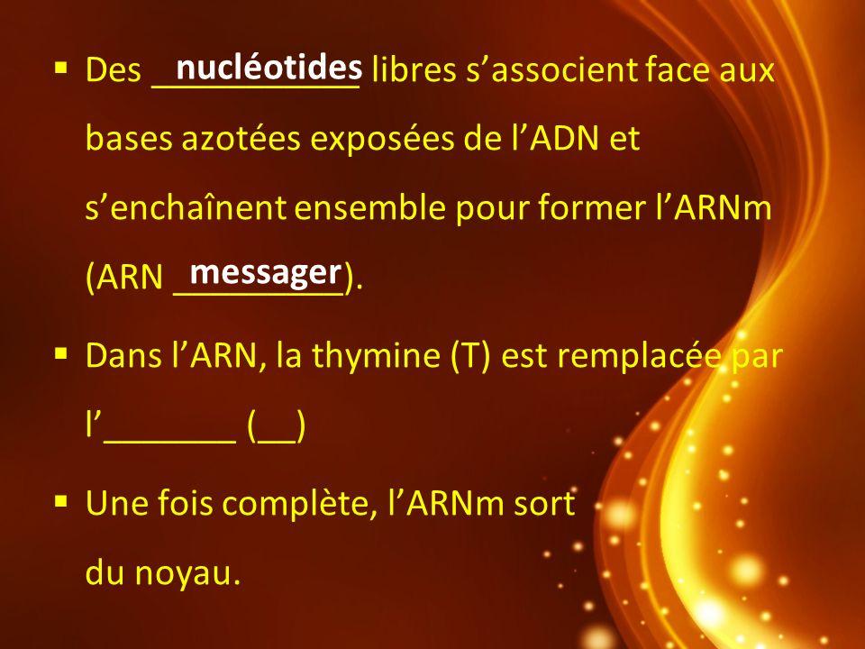 Des ___________ libres s'associent face aux bases azotées exposées de l'ADN et s'enchaînent ensemble pour former l'ARNm (ARN _________).