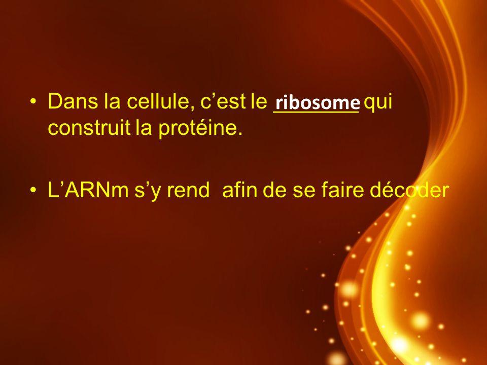 Dans la cellule, c'est le _______ qui construit la protéine.