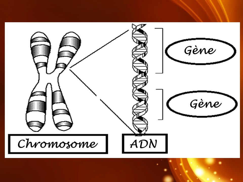 Gène Gène Chromosome ADN