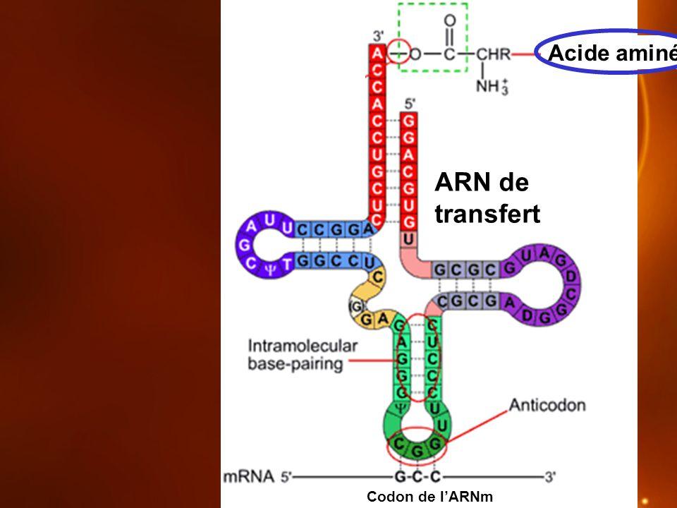Acide aminé ARN de transfert Codon de l'ARNm