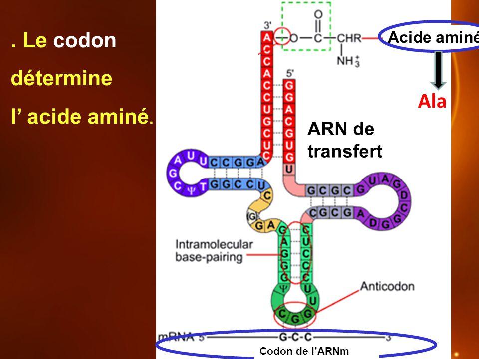 . Le codon détermine l' acide aminé.
