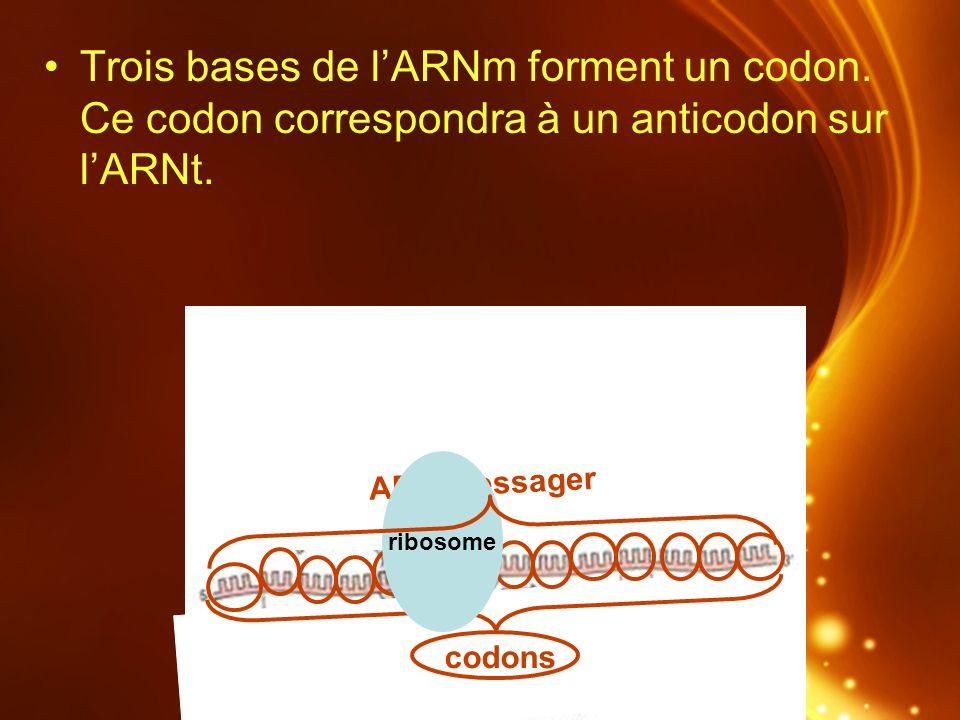 Trois bases de l'ARNm forment un codon