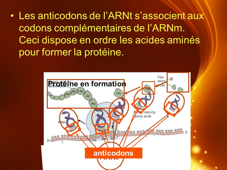 Les anticodons de l'ARNt s'associent aux codons complémentaires de l'ARNm. Ceci dispose en ordre les acides aminés pour former la protéine.