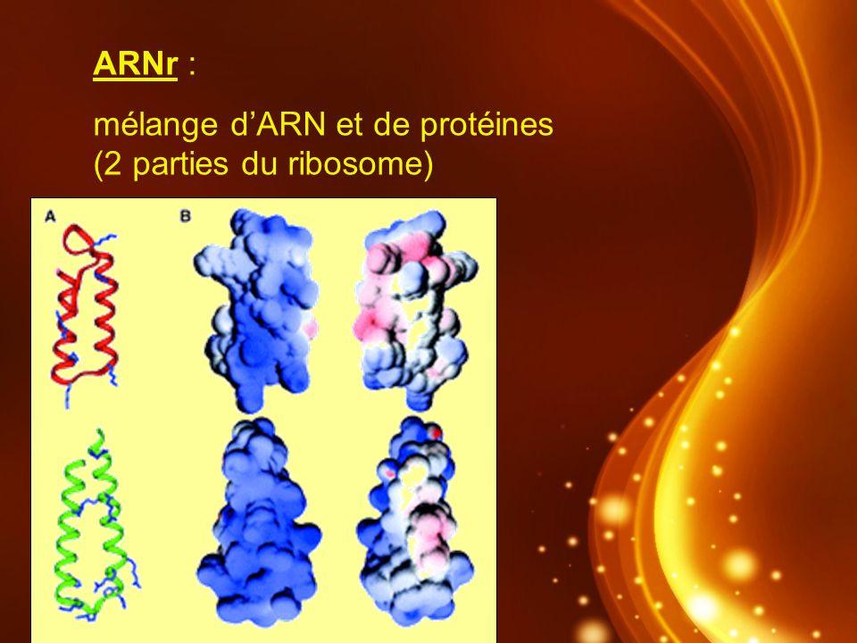 ARNr : mélange d'ARN et de protéines (2 parties du ribosome)