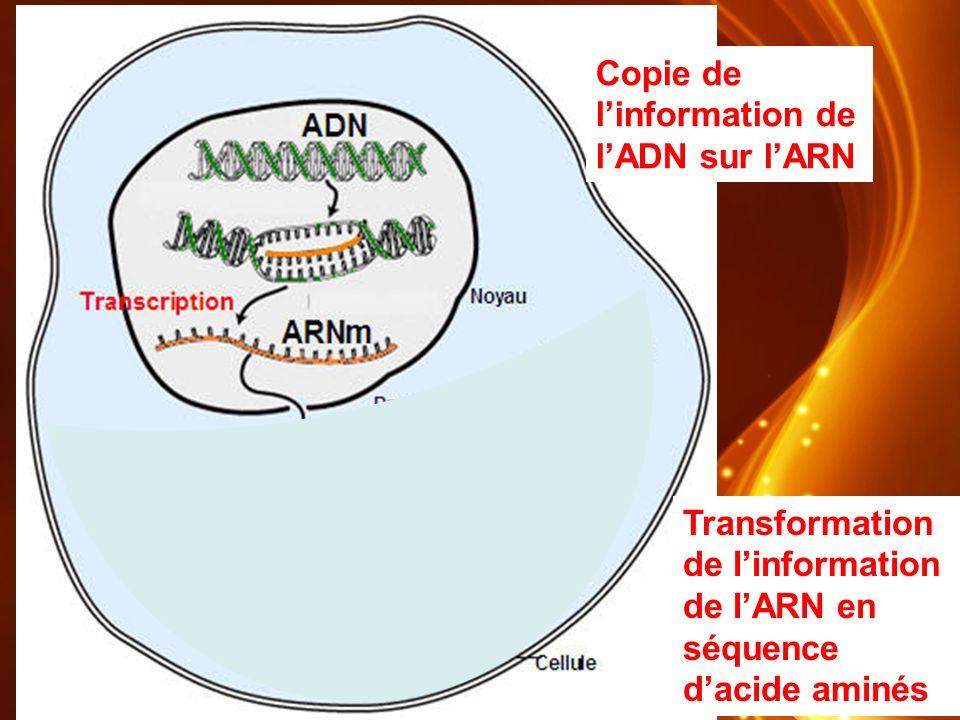 Copie de l'information de l'ADN sur l'ARN