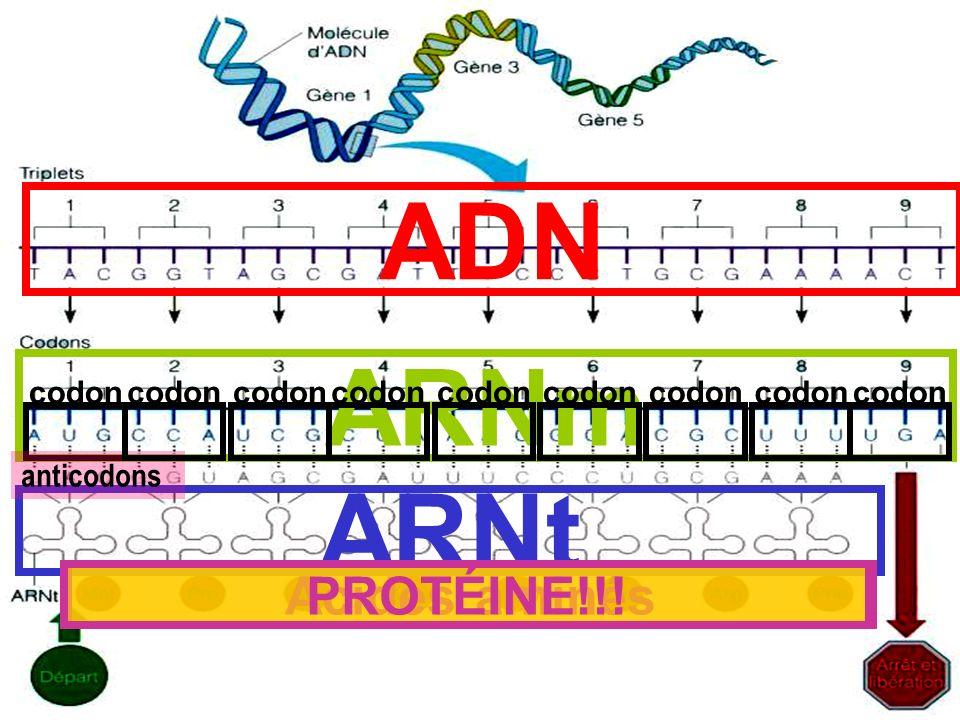 ADN ARNm ARNt PROTÉINE!!! Acides aminés codon codon codon codon codon