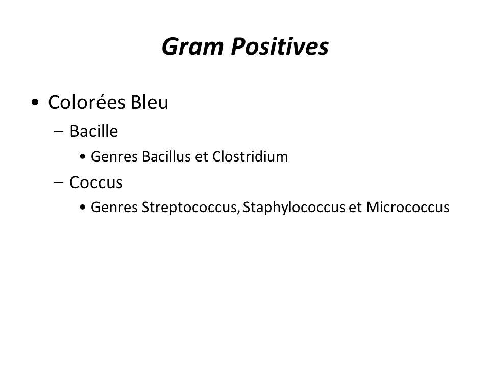 Gram Positives Colorées Bleu Bacille Coccus