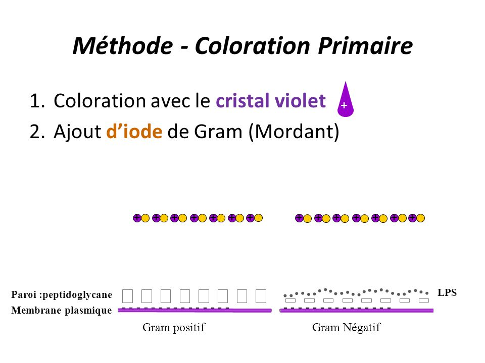 Méthode - Coloration Primaire